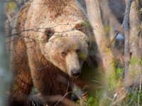 А.Безруков бурый медведь_DSC1528
