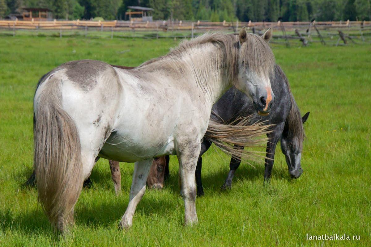 сибирские лошади