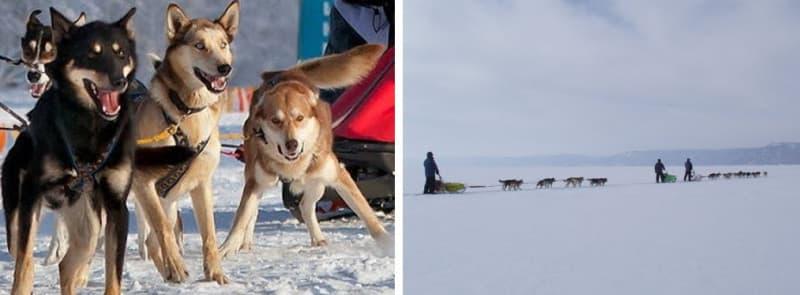 По Байкалу на собачьих упряжках