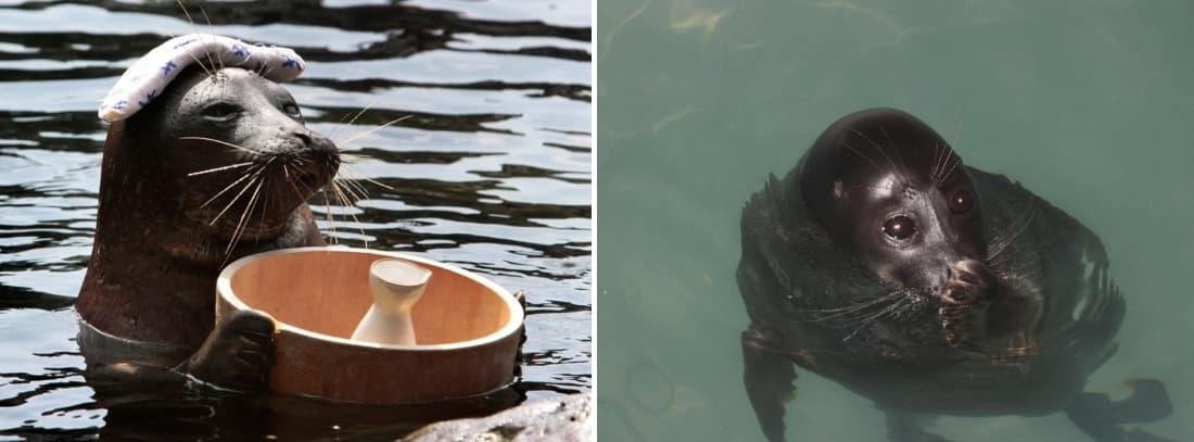 Шоу байкальских тюленей (нерпы)