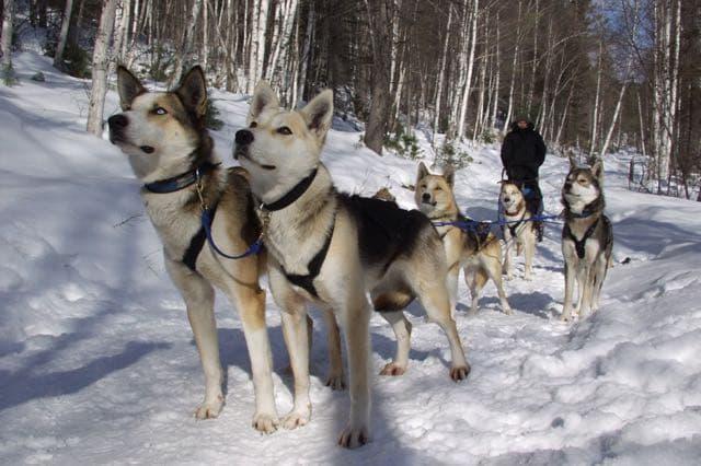 Прокатимся на собачьих упряжках