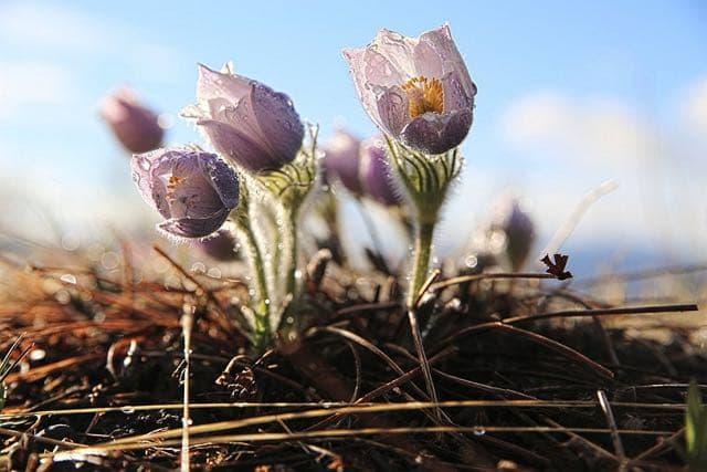Байкальские первоцветы